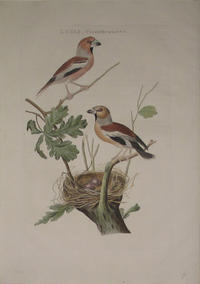 Loxia Coccothrautes - Appelvink